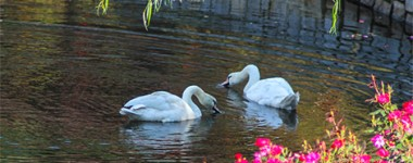 Meet The Newest Residents at Bridgemore – The Swans